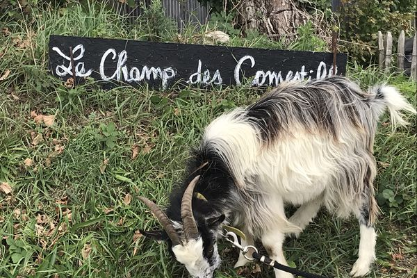 Le champ des comestibles en Seine-Maritime c'est Vachement Normand!