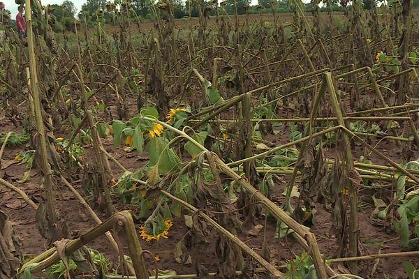 Les exploitants affirment que 2 500 hectares de cultures ont été ravagés.