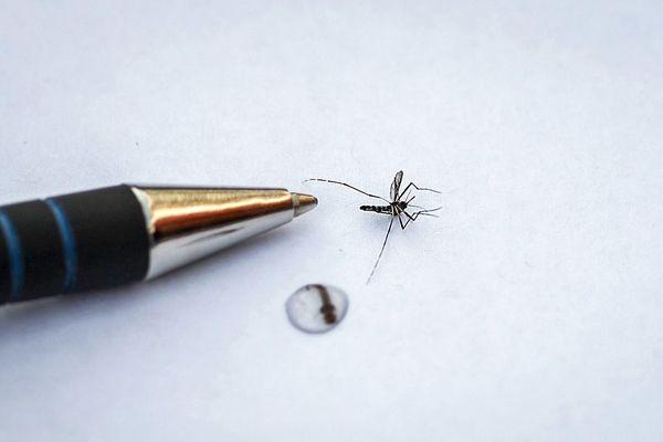 Le moustique tigre est de petite taille, environ 5mm
