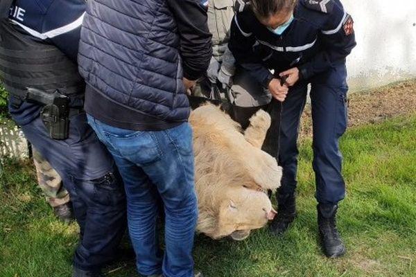 Le lion capturé à Marigny anesthésié pour le transport