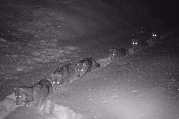 La meute de loups a été filmée sur les hauteurs de Saint-André, en Savoie.