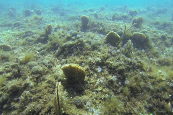 Ce champ de grandes nacres a été trouvé par hasard dans le golfe de Saint-Tropez.