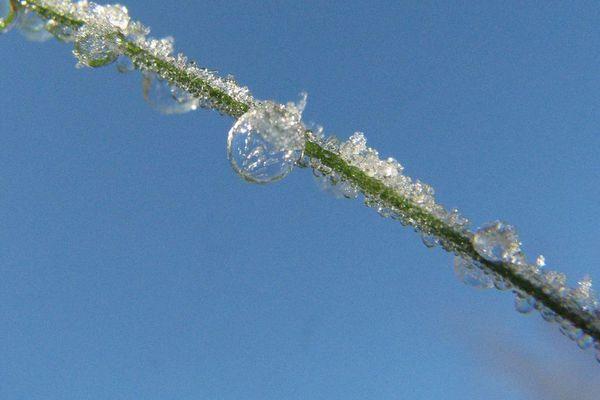 Une herbe gelée.