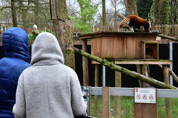Les non-Lillois devront payer l'an prochain pour voir les pandas roux du Zoo de Lille.