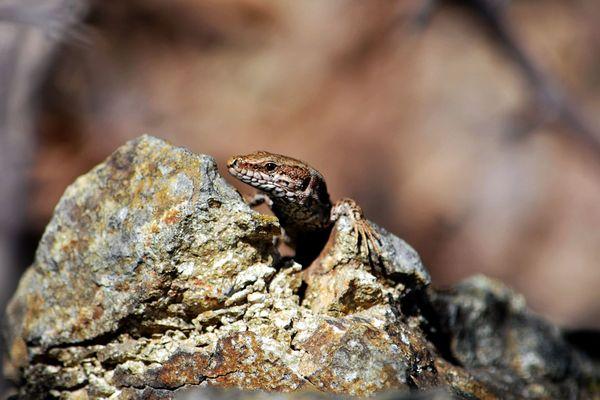Le lézard des murailles que l'on appelle aussi rapiette en Limousin, une espèce courante qui mérite cependant d'être recensée