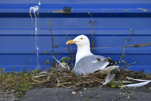 Un goéland observé à Lorient, rue de la Perrière et qui a installé son nid sur le trottoir, contre une barrière de chantier