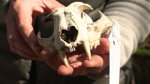 Un crâne de lynx adulte