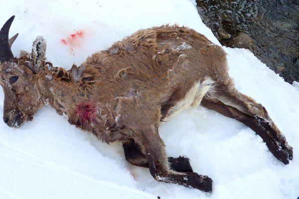 Le bouquetin a été tué par des chiens errants.