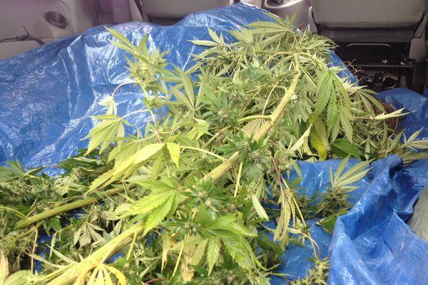 Plant de cannabis arraché ce matin dans le Béarn