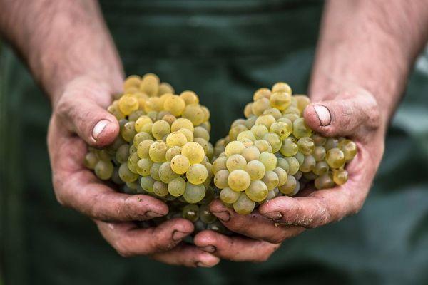 Les vendanges du vignoble nantais ont commencé lundi 10 septembre.