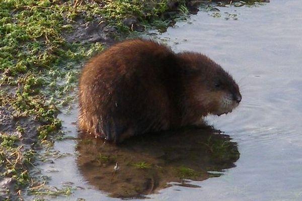 D'un poids moyen de 7 kg, ce rongeur abime notamment les berges des cours d'eau, en y creusant des terriers.