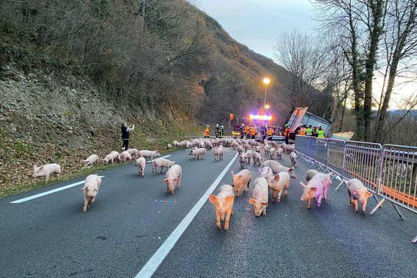 Les cochons se sont échappés occupant les pompiers durant plusieurs heures