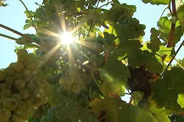Les vignes sont prêtes pour les vendanges à Jonquières-Saint-Vincent, dans le Gard. Août 2015.