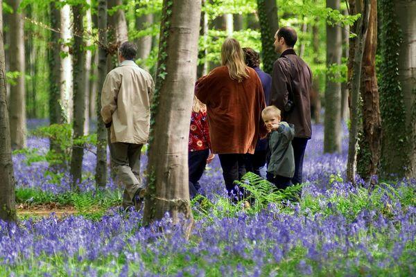 Chaque année, le Bois de Hal, en Belgique, attire des millions de visiteurs.