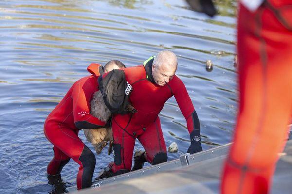 Plongeurs et équipe cynotechnique du SDIS de l'Oise ont été déployés pour sauver un chevreuil tombé dans un regard de collecte d'eau de pluie mardi 14 avril 2020