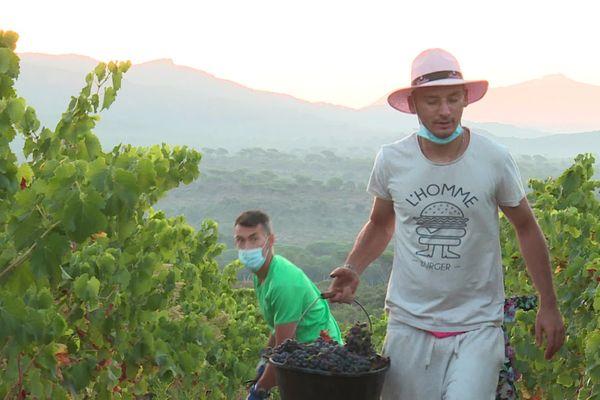 Les vendangeurs s'affairent pour récolter le raisin grenache