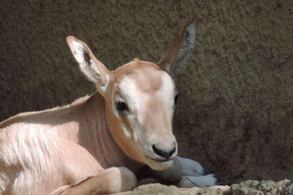 Un oryx algazelle né le 23 juin
