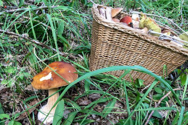 L'automne la meilleure saison pour ramasser les champignons en forêt