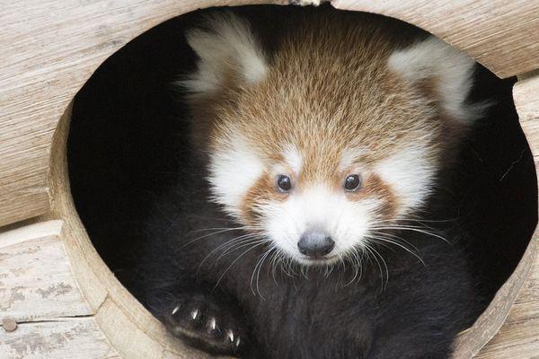 Le premier panda roux né au parc animalier d'Auvergne a été baptisé Shifumi.