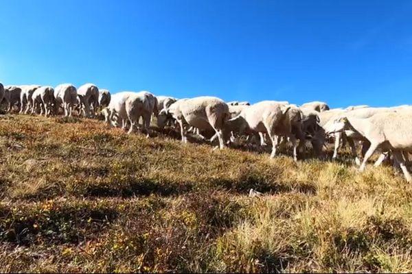 Des brebis du troupeau, sous le pic de Finiels au Mont Lozère, plus haut sommet du département, le 19 août 2020.