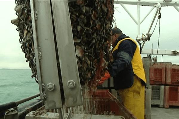 La pêche des huîtres plates en baie du Mont Saint-Michel