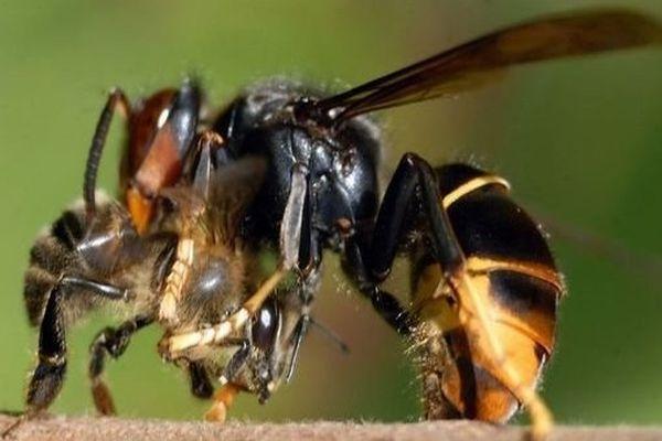 Le frelon asiatique, grand prédateur des abeilles.