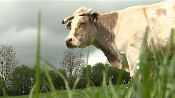Une vache charolaise de la ferme des Lignières.