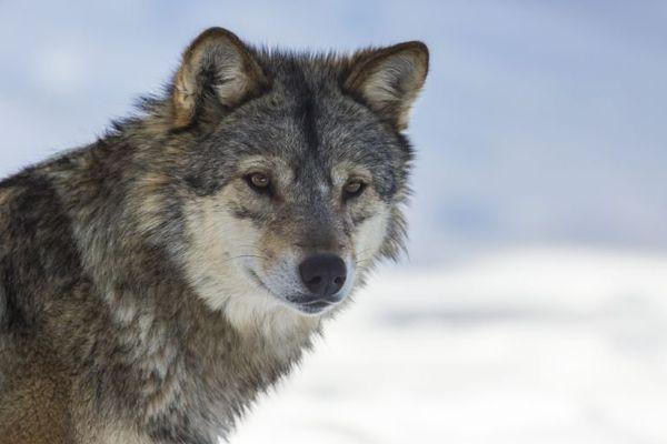 Loup dans le parc du Gevaudan