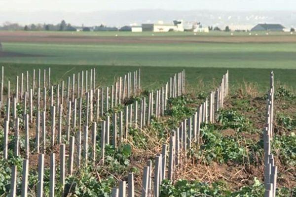 D'ici quelques années, ces plants de vigne devraient donner leur première cuvée de vin francilien.