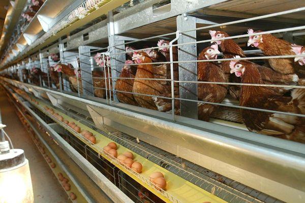 Un élevage de poules pondeuses.