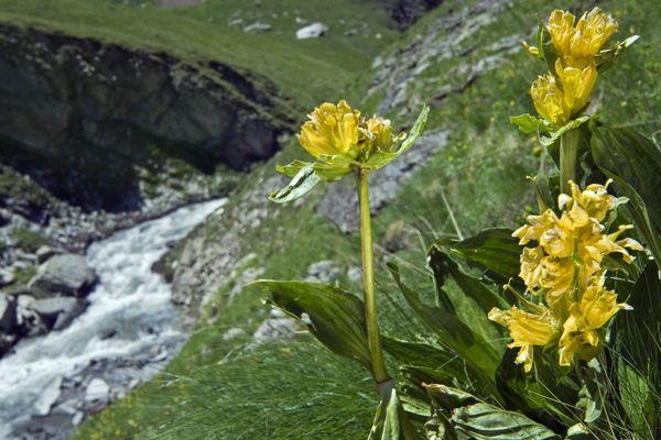 En photo, une Gentiane de Burser, reconnaissable à la pâleur de ses fleurs et souvent confondue avec la Gentiane jaune sa cousine.