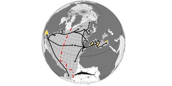 Les zones d'habitat des thons rouges