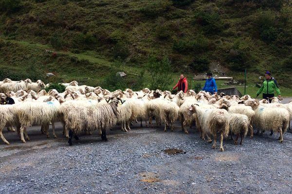 Les 300 brebis de Jean-Pierre Cazaux quittent l'altitude pour rejoindre leur étable dans la vallée