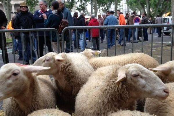 Les brebis parquées devant la préfecture de l'Aude