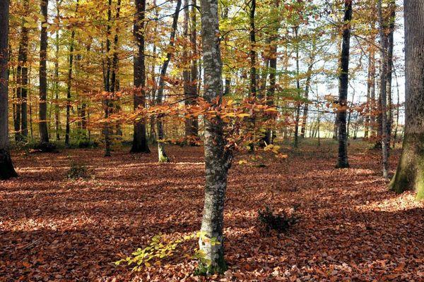Photo d'illustration. La forêt de Tronçais est notamment réputée pour ces chênes dont les morceaux sont transformés en tonneaux de vin, renfermant parfois les plus grands crus de l'hexagone. Des arbres qui s'étendent sur 12.000 hectares entre Berry et Bourbonnais.