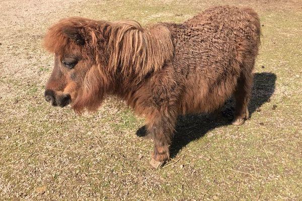 Un poney du parc de la Colombière à Dijon