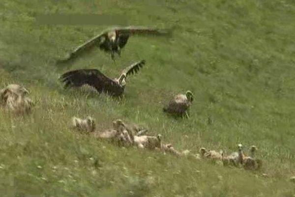 Le vautour est généralement un charognard qui s'attaque aux carcasses d'animaux