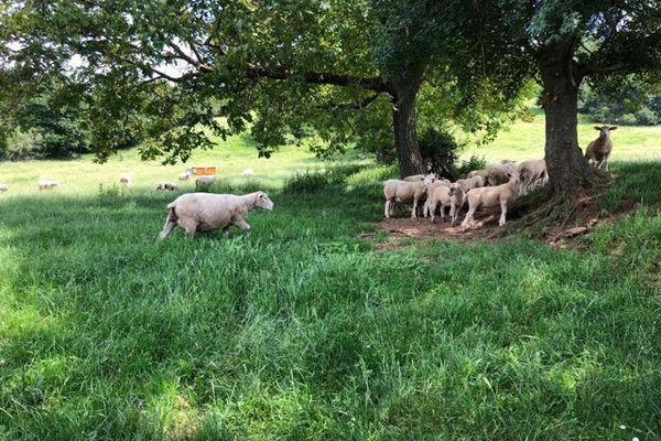 En Saône-et-Loire, le loup était présent dans le Clunisois depuis avril dernier.
