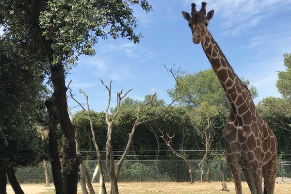 Zoo de Lunaret: Dame girafe accueille les visiteurs