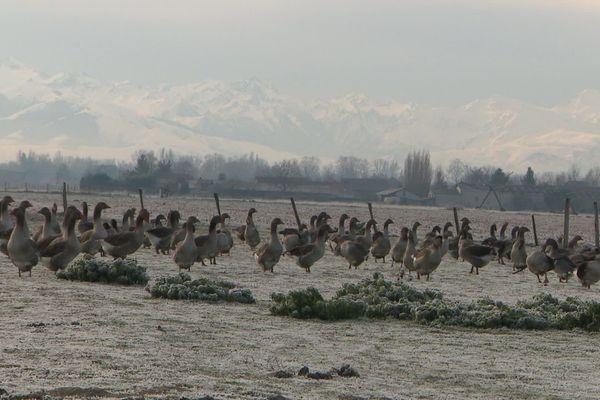 Un élevage d'oies dans les Hautes-Pyrénées