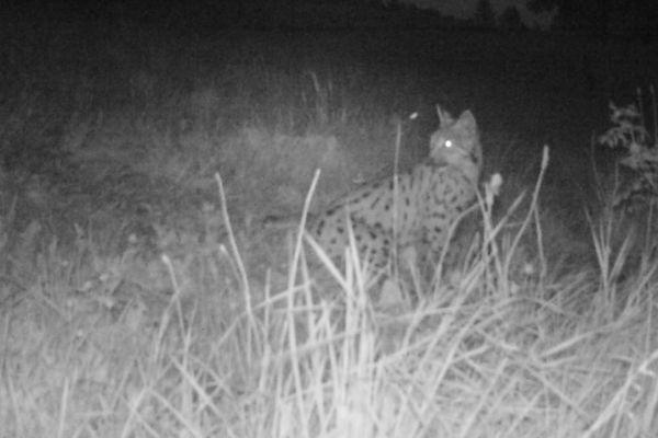 Jean-Philippe Chavey place un piège photographique à proximité du chevreuil mort. Durant la nuit, l'auteur de l'attaque apparaît dans le faisceau infrarouge de l'appareil. C'est bien un lynx qui revient sur sa proie.