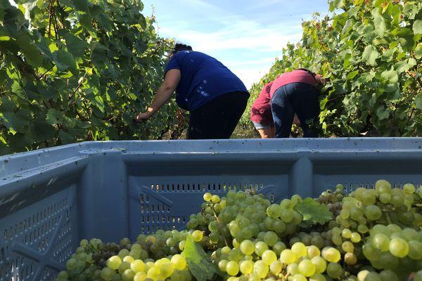 Les vendanges sont tardives, les viticulteurs attendent la pluie pour optimiser les rendements. La récolte 2021 sera maigre mais bonne à boire.