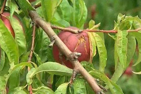 Les nectarines ont souffert de l'orage de grêle qui s'est abattu dans les Pyrénées-Orientales. Août 2015.