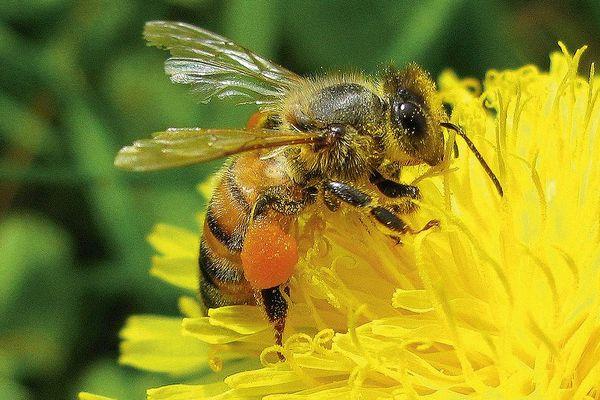Le confinement n'a, semble-t-il, pas d'impact sur la production des abeilles qui s'annonce bonne cette année