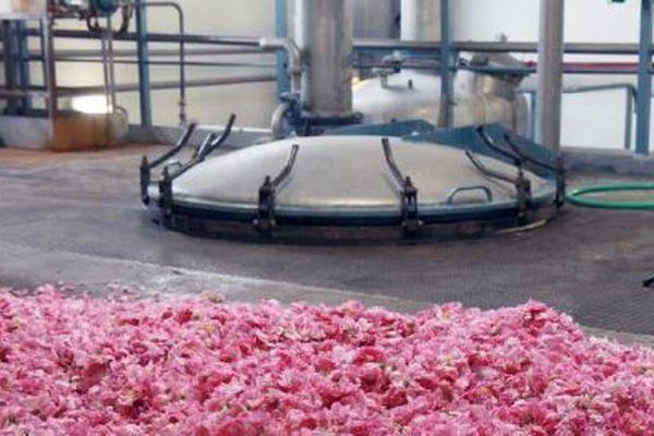 Des roses Centifolia en attente de chargement dans un extracteur de l'entreprise Firmenich à Grasse.