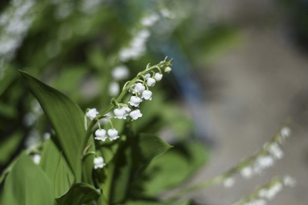 Le gouvernement a autorisé la vente de muguet chez les fleuristes et dans la rue le 1er mai 2021.