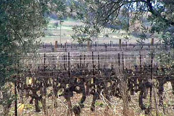 Jonquières (Hérault) - les vignes de l'AOC Terrasses du Larzac - mars 2015.