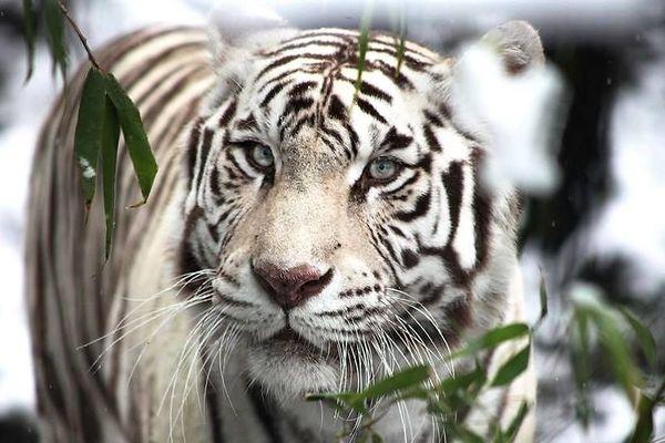 Radja était l'un des deux tigres blancs du Zoo de Maubeuge.