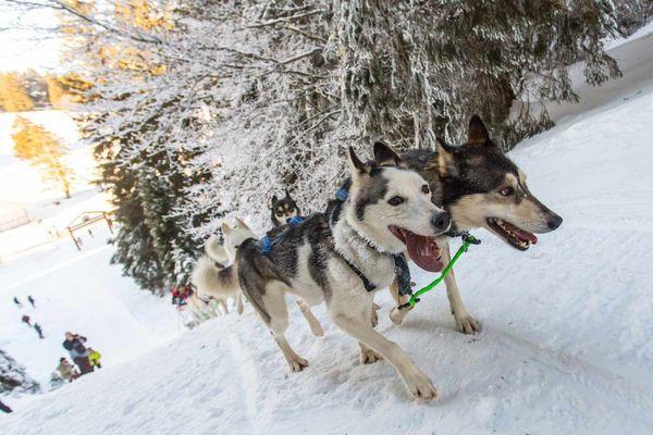 La Grande Odyssée Savoie Mont Blanc est la course de chiens de traîneaux la plus vallonnée d'Europe.