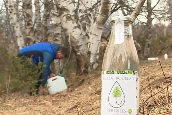 Dans les Pyrénées-Orientales, on récolte l'eau de bouleau qui aurait, entre autres, des vertus détoxifiantes, et serait efficace contre l'arthrose et l'eczéma.